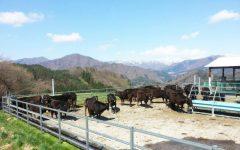 広大な放牧地で放牧牛の行動を把握